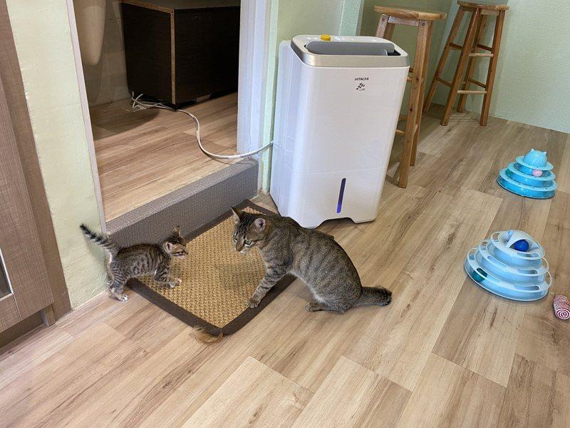 「三貓一家」屏東貓咪旅館有5隻貓咪待認養,有4隻是剛滿月的小貓咪,還有一隻約6個月大的「騷騷」。記者劉星君/攝影