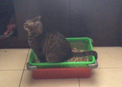 屏科大木設系學生將自己養的貓試用銀合歡貓砂。 圖/屏科大木設系提供