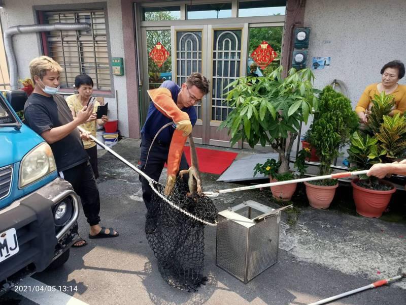 屏東縣琉球消防分隊獲報民宅有大型蜥蜴出沒,住戶嚇得不知所措,隊員帶捕獸網及防護裝備將牠捕獲,也是近日小琉球第3起「酷斯拉出沒」報案。記者潘欣中/翻攝