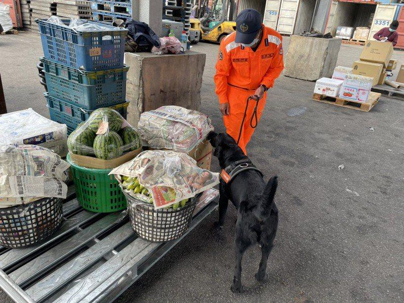 偵搜犬區隊領犬員洪裕宗每天帶著最忠實的伙伴「一哥」執行船運貨物檢查工作,「一人一狗」,合作無間。圖/金門岸巡隊提供