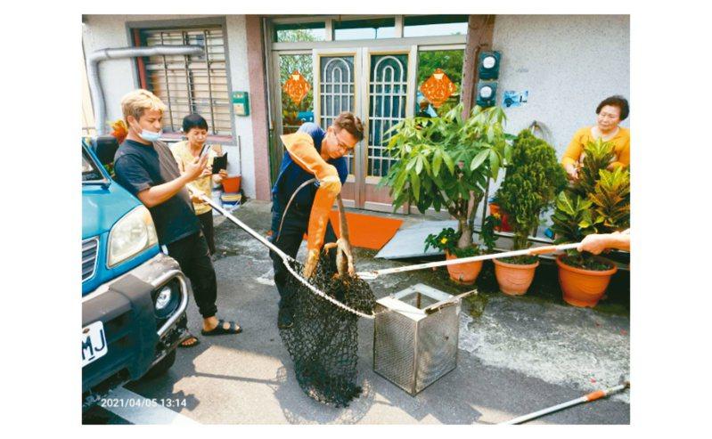 屏東縣琉球消防分隊前天獲報民宅有大型蜥蜴出沒,帶捕獸網及防護裝備前往捕獲。記者潘欣中/翻攝