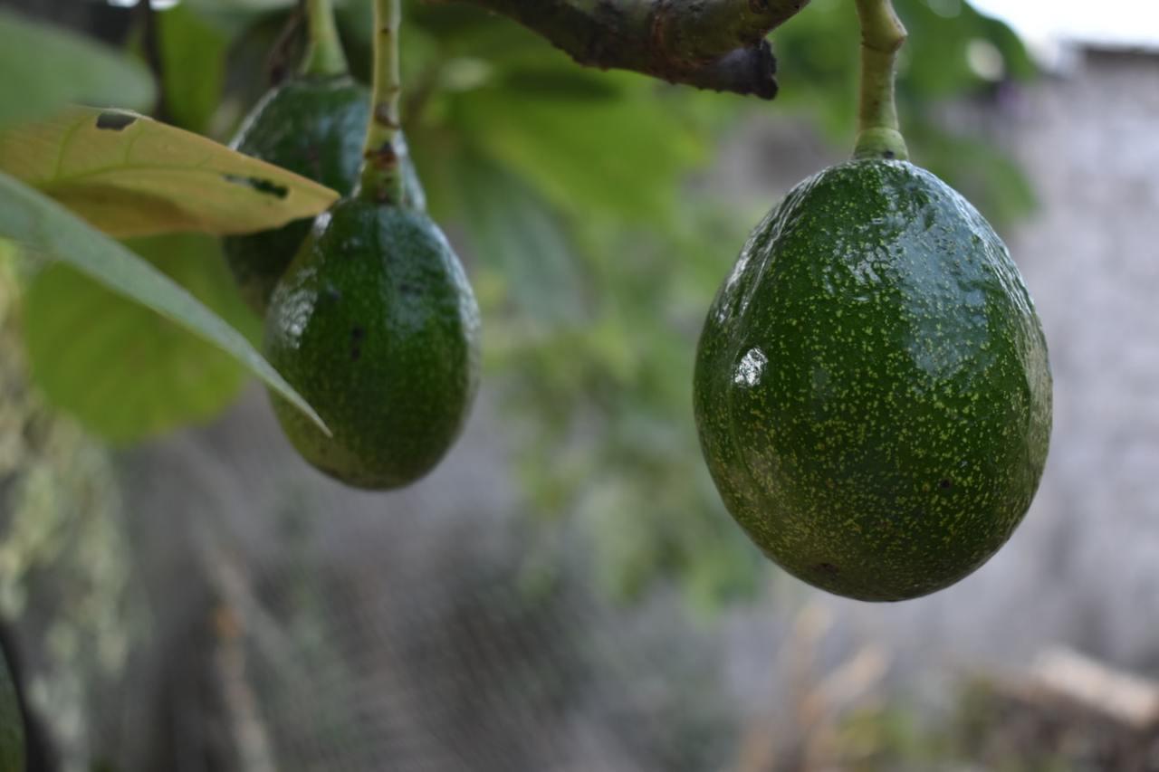 通常大家採購回家的綠皮酪梨,大多都是還沒完全成熟的狀態,如果馬上食用會有苦澀味道...