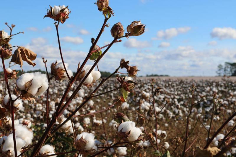 棉花。(圖/Unsplash)