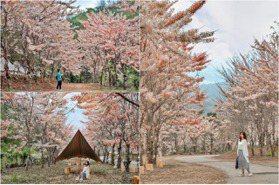 高雄美濃「粉紅雨」秘境!1200棵花旗木炸裂式滿開,沐浴在粉嫩桃花源