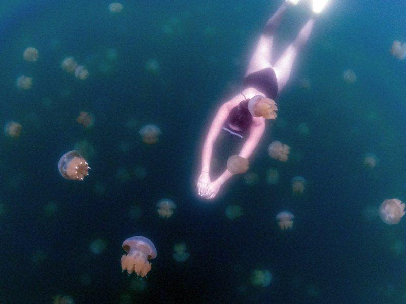 水母湖是帛琉最著名的景點之一,遊客可與無毒水母共游。