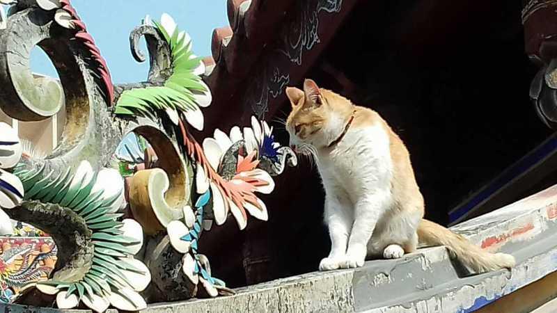 台中樂成宮人氣廟貓「咪咪」,吸引不少網友前往拜拜兼摸貓。圖/擷自樂成宮慕容咪咪臉書專頁