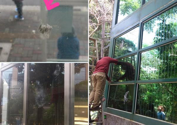 左上圖與左下圖為野鳥撞窗後在玻璃留下的痕跡,右大圖為芝山綠園展示館窗殺改善施工照...