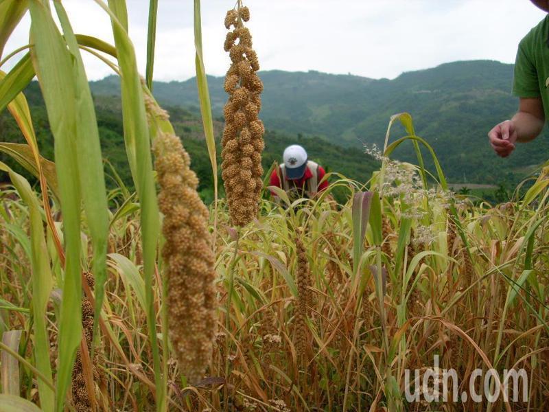農民表示小米結穗時期,需要用水來灌溉,如果水分吸收不足,作物沒養分容易形成空包彈或是感染病菌。記者尤聰光/攝影