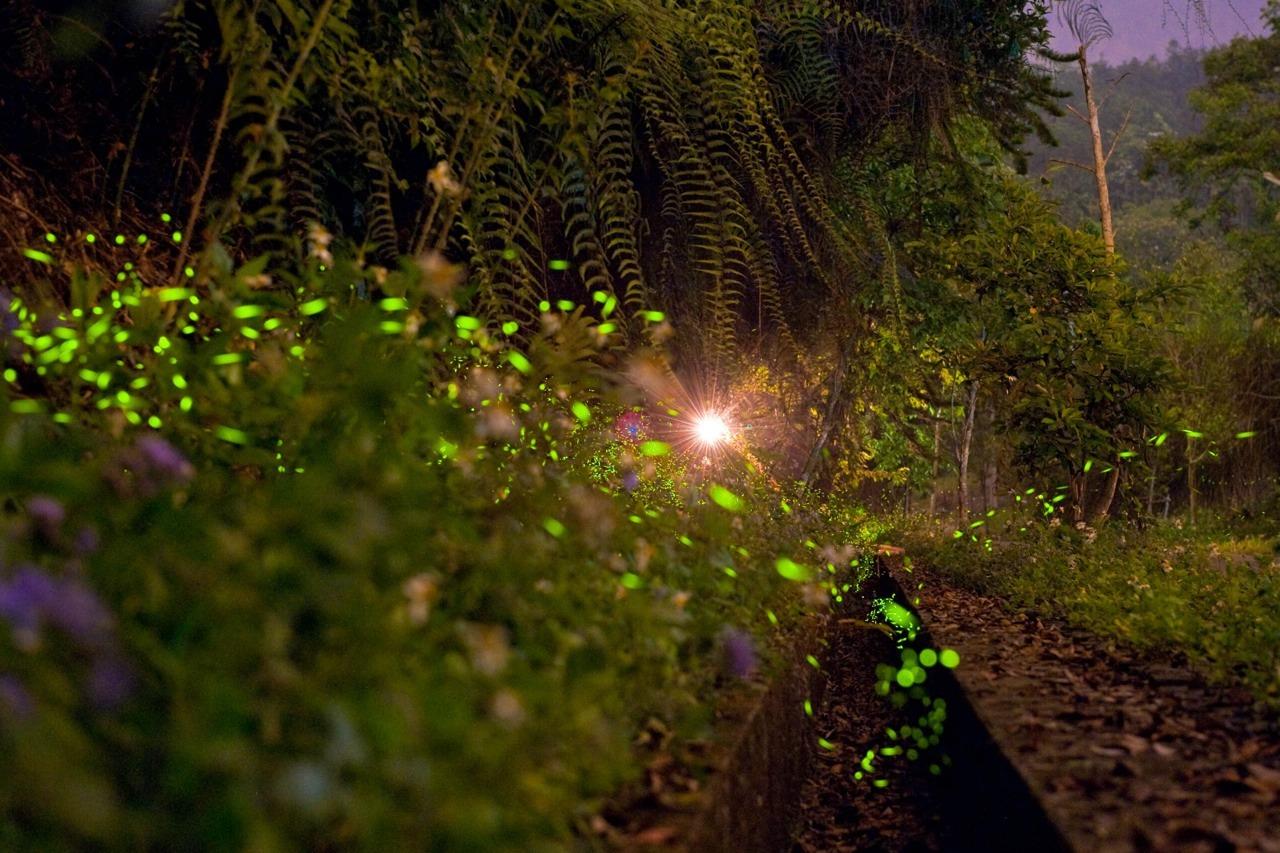 日月潭星光螢火季開跑 六大賞螢據點可觀賞30種螢火蟲
