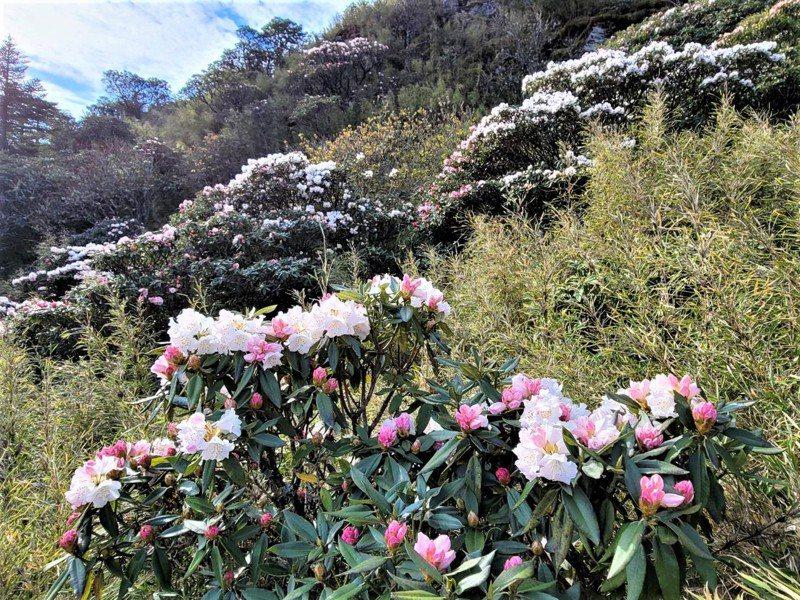合歡山花季到,玉山杜鵑正盛放,粉白相間的花朵布滿山頭。記者賴香珊/攝影
