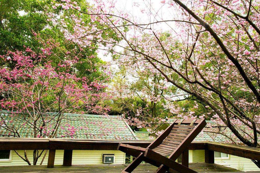 棲蘭山莊木屋外吉野櫻花開的景色。 力麗/提供。