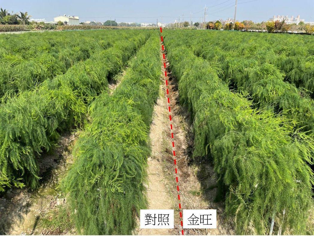 施用金旺特43號蘆筍植株生長快速、芽盤強健 台肥公司/提供