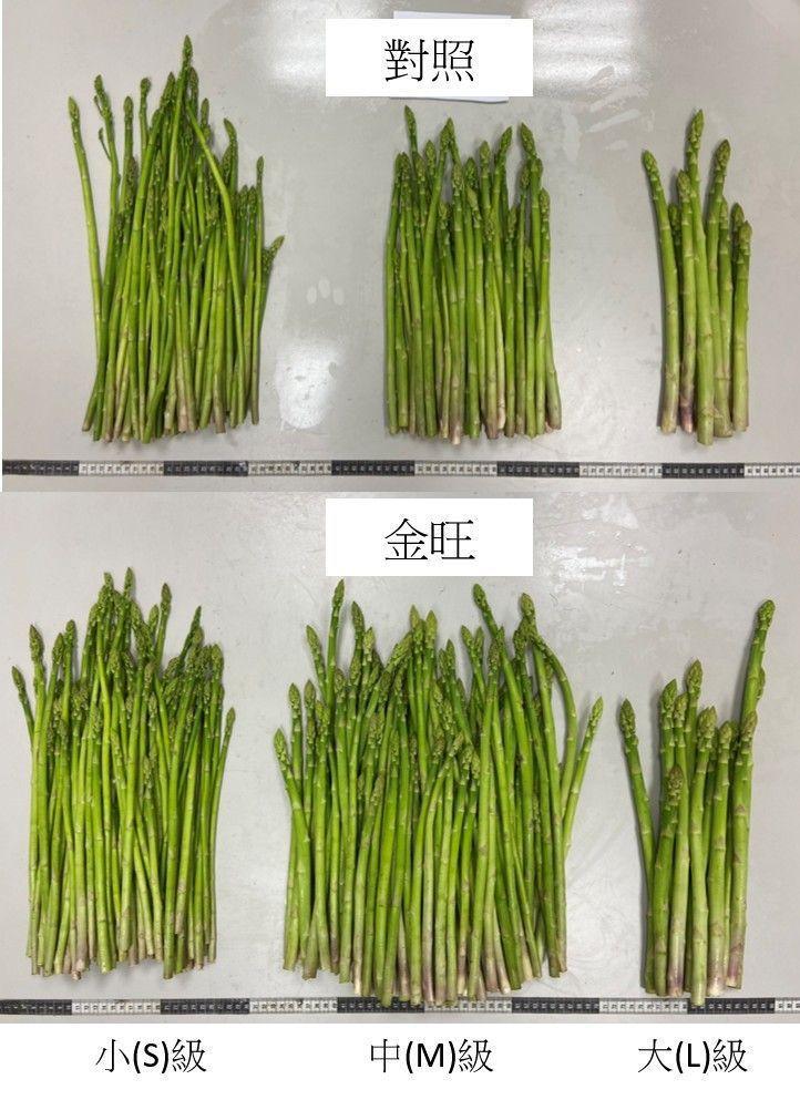施用金旺特43號蘆筍較白,產量提升近1倍 台肥公司/提供
