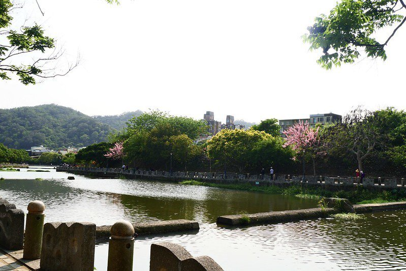 花旗木花兒,紅色花朵裝扮的牛欄河親水步道。