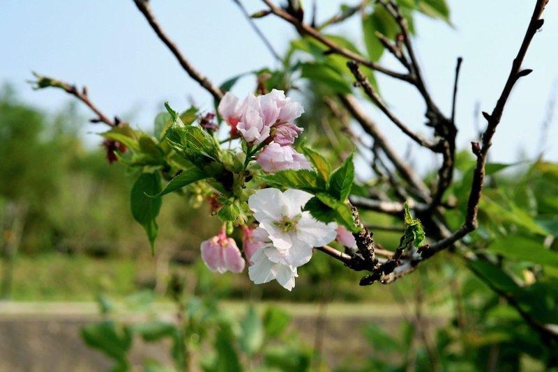 染井吉野櫻,用了picture this查詢得知的櫻花品種。