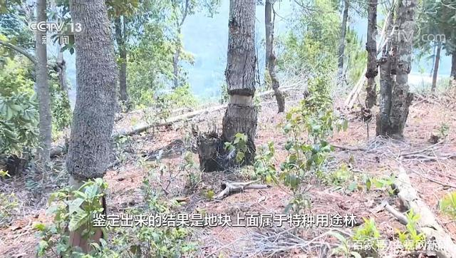 雲南西雙版納猛海縣布朗山鄉出現了毀林種茶的現象。農戶為了種茶,採取了更為隱蔽的方式:放火燒樹。除了放火燒樹,還有一種更隱蔽的毀林方式就是圍剝樹皮。圖/翻攝自央視網