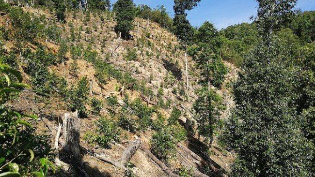 雲南西雙版納猛海縣布朗山鄉出現了毀林種茶的現象。圖源:央視網