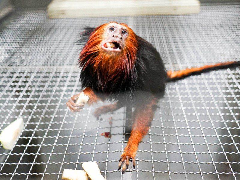 「金頭獅狨」為5歲和6歲的兄弟檔,2隻都是在新加坡動物園出生的個體。圖/北市動物園提供