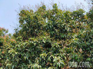 沒雨水造成龍眼樹開花後,花穗脫落,剩下禿枝。記者簡慧珍/攝影