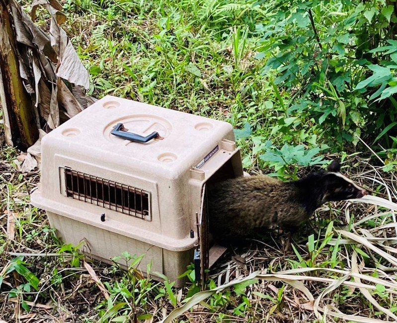 新竹市立動物園團隊成功救助白鼻心,前天野放。圖/新竹市政府提供