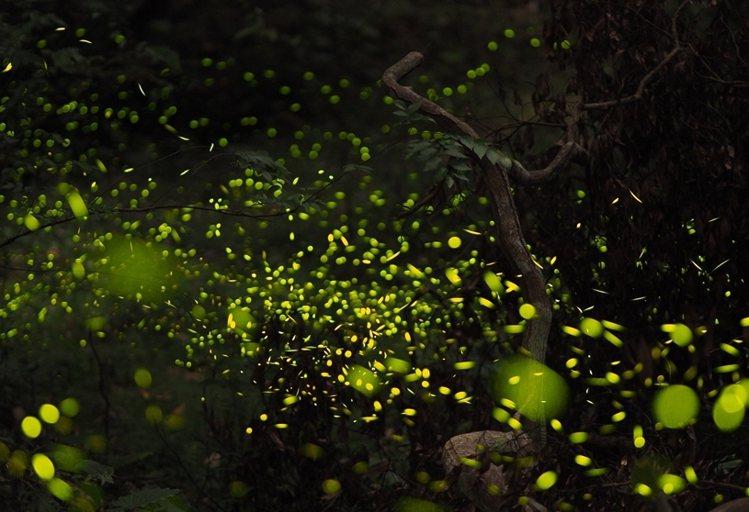 仲夏螢光流舞,夜間更美麗。圖/雄獅旅遊提供