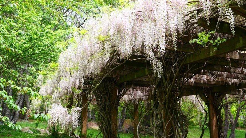 武陵農場白藤花現正盛開,白色花海美景。  圖/武陵農場提供