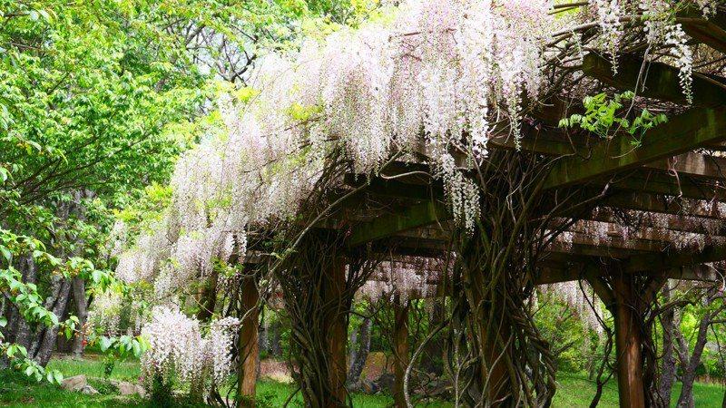 武陵農場白藤花現正盛開,白色花海美景。圖/武陵農場提供