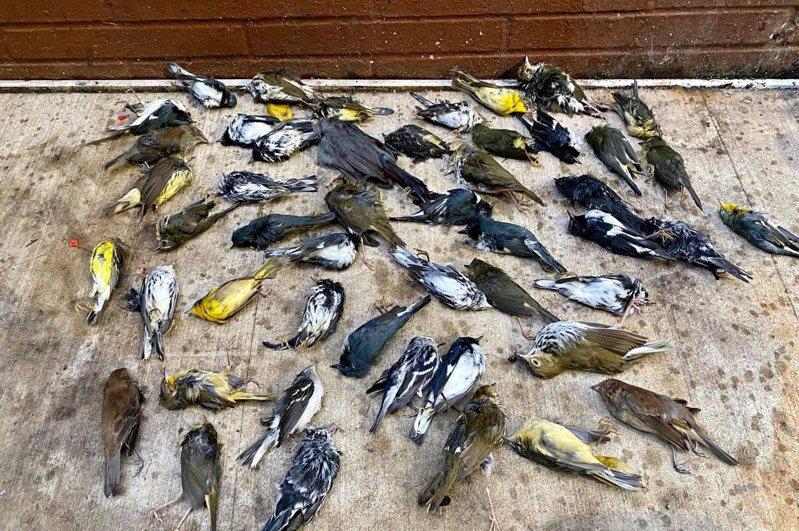 去年10月的一晚,約1000-1500隻候鳥在美國費城市中心喪生。圖/紐約時報