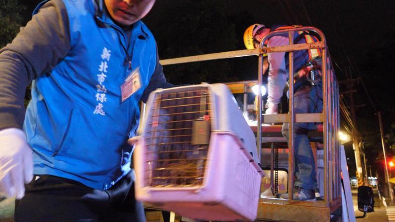 維修人員小心冀冀地把鳥巢連同鳥蛋移至箱子內,交由動保處帶回處理。圖/新北交通局提供