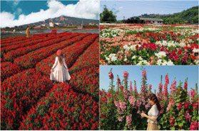 眼前就是火炎山!台灣4大「火紅系花海」好艷麗 一串紅、孤挺花、蜀葵花拍到飽