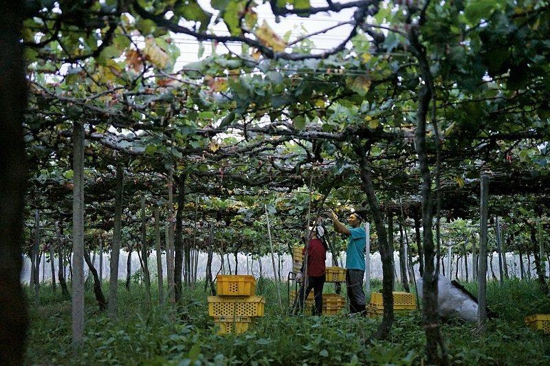 夏季的葡萄園,在棚架之下採收結實纍纍的黑后葡萄。