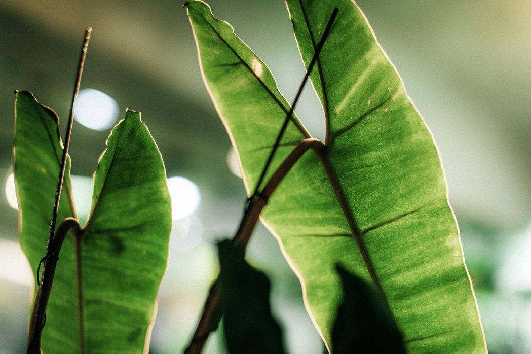 米力喜愛各式各樣漂亮的蔓綠絨。 圖/施清元攝影