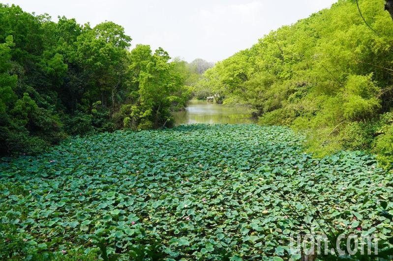 中興大學新化林場沖瀜池上方的荷花盛開時,遊客形容如莫內荷花油畫之美。記者吳淑玲/攝影