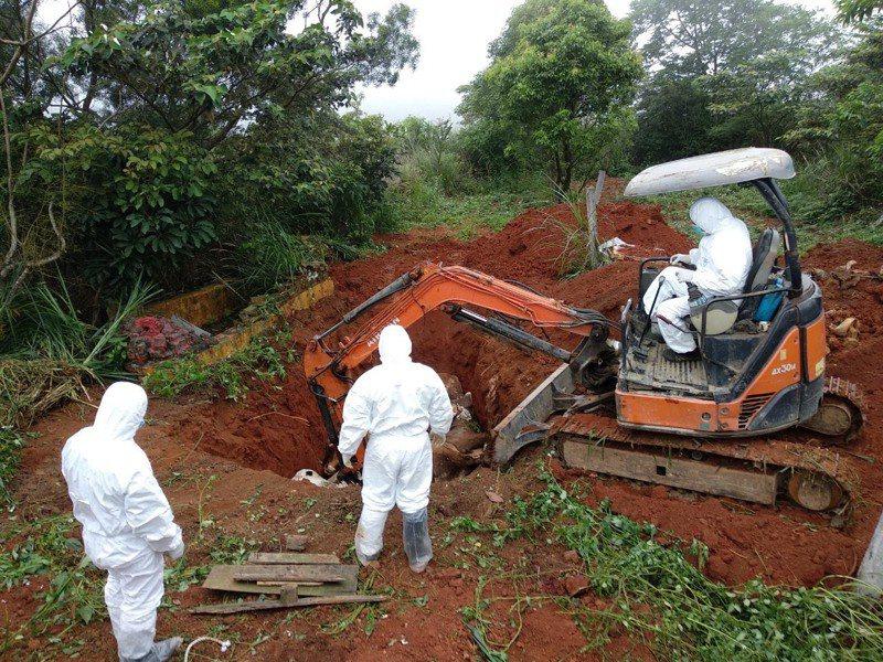 台灣本土首度爆發牛結節疹疫情,八頭確診牛隻已就地焚燒掩埋。圖/新北市政府農業局提供