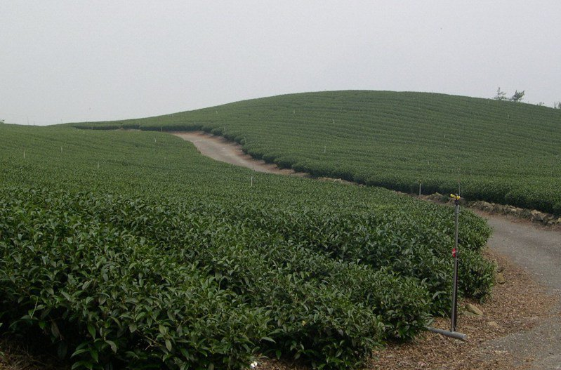 阿里山地區今年四月中旬進入春茶產季。圖/阿里山鄉農會提供