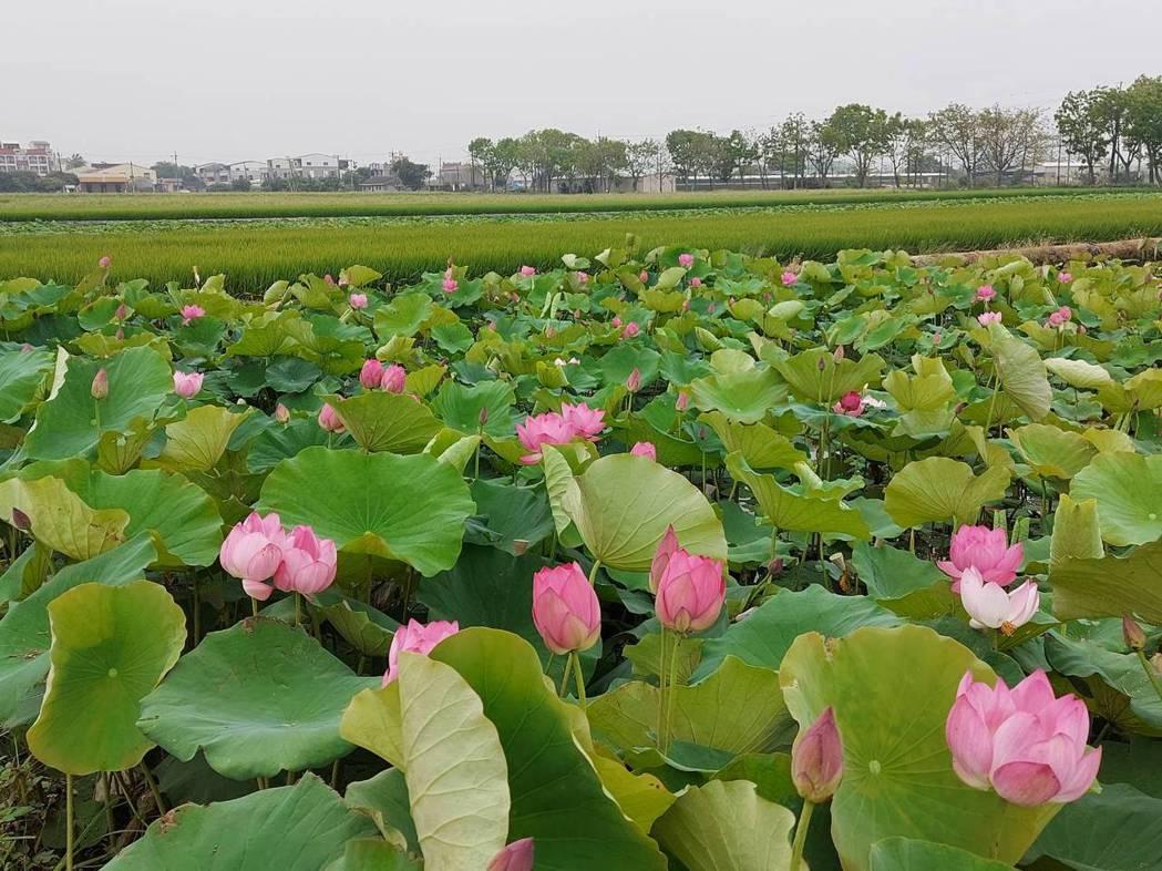 台南白河蓮花受到乾旱影響,面積大幅縮小,花期也將延後。圖/白河區公所提供