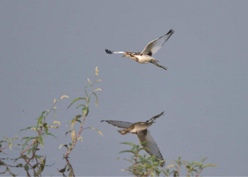 台南水雉教育園區的水雉。圖/水雉園區提供
