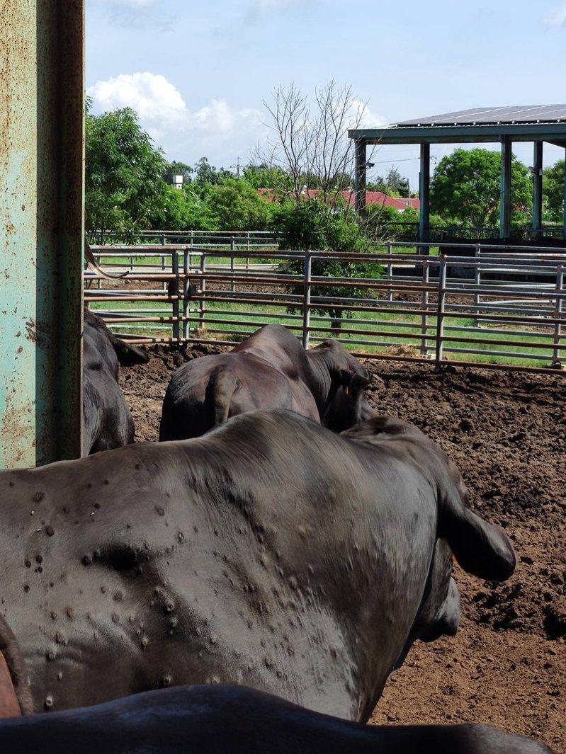 防檢局今晚7點半召開「牛結節疹中央災害應變中心」會後記者會,談及金門疑似有50頭牛出現牛結節疹疑似症狀。圖/農委會提供