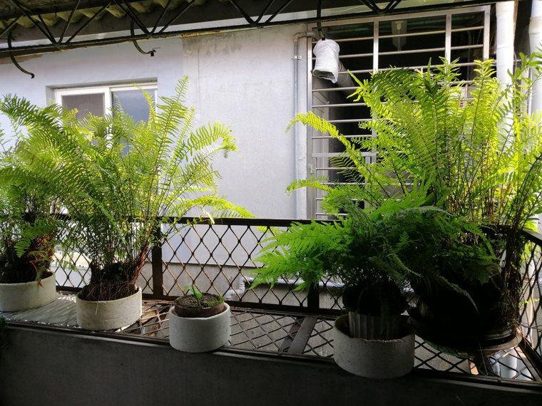 老爸膝蓋卡卡,不敢下樓,只敢扶把手上頂樓加蓋處,照顧他的綠色植栽。圖/以薰提供