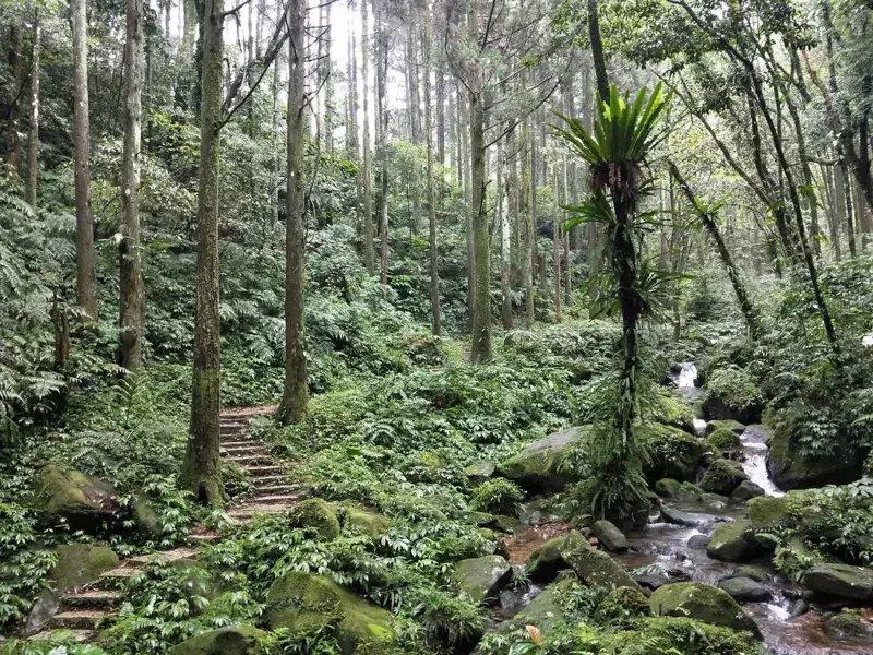 逛完熊空茶園,民眾也可探訪一旁的柳杉林步道,不論是陽光灑落或薄霧繚繞,都別有一番...