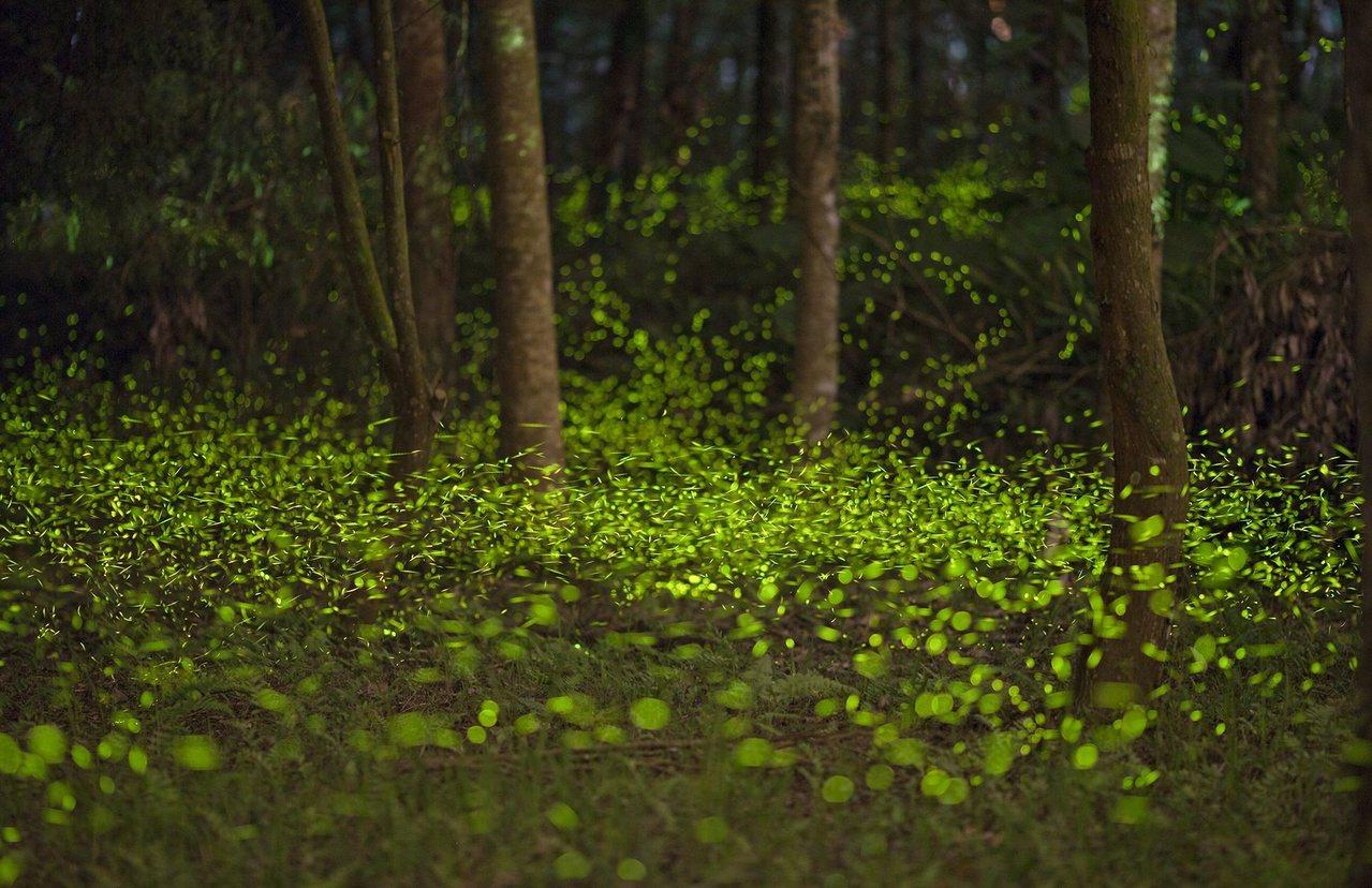 4月開始是南投縣最夢幻的螢火蟲季節,林間螢光漫天飛舞煞是好看。 圖/特生中心提供