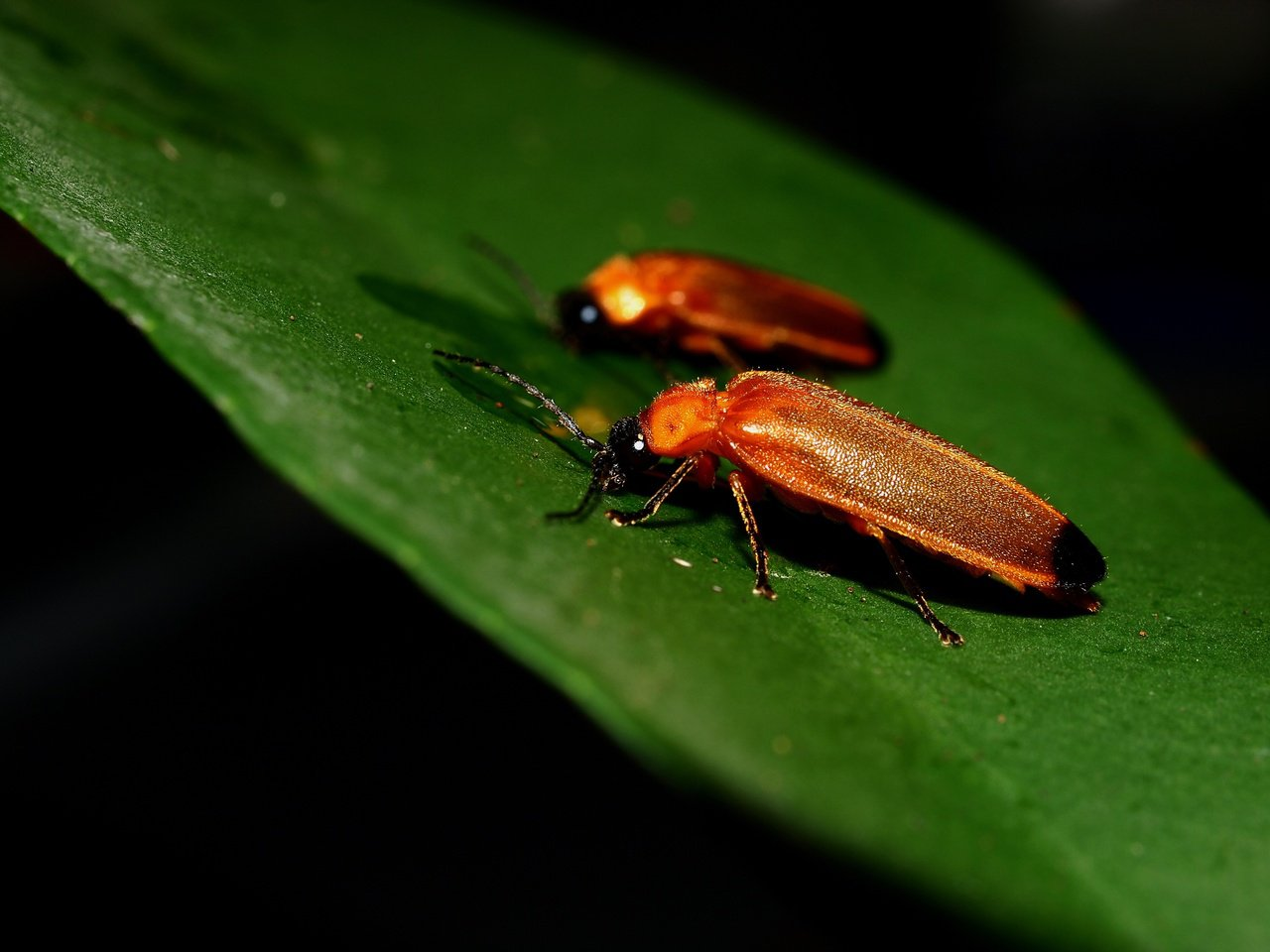 大端黑螢是端黑螢類螢火蟲中最大型的,主要分布在海拔2000公尺以下山區,是相當常...