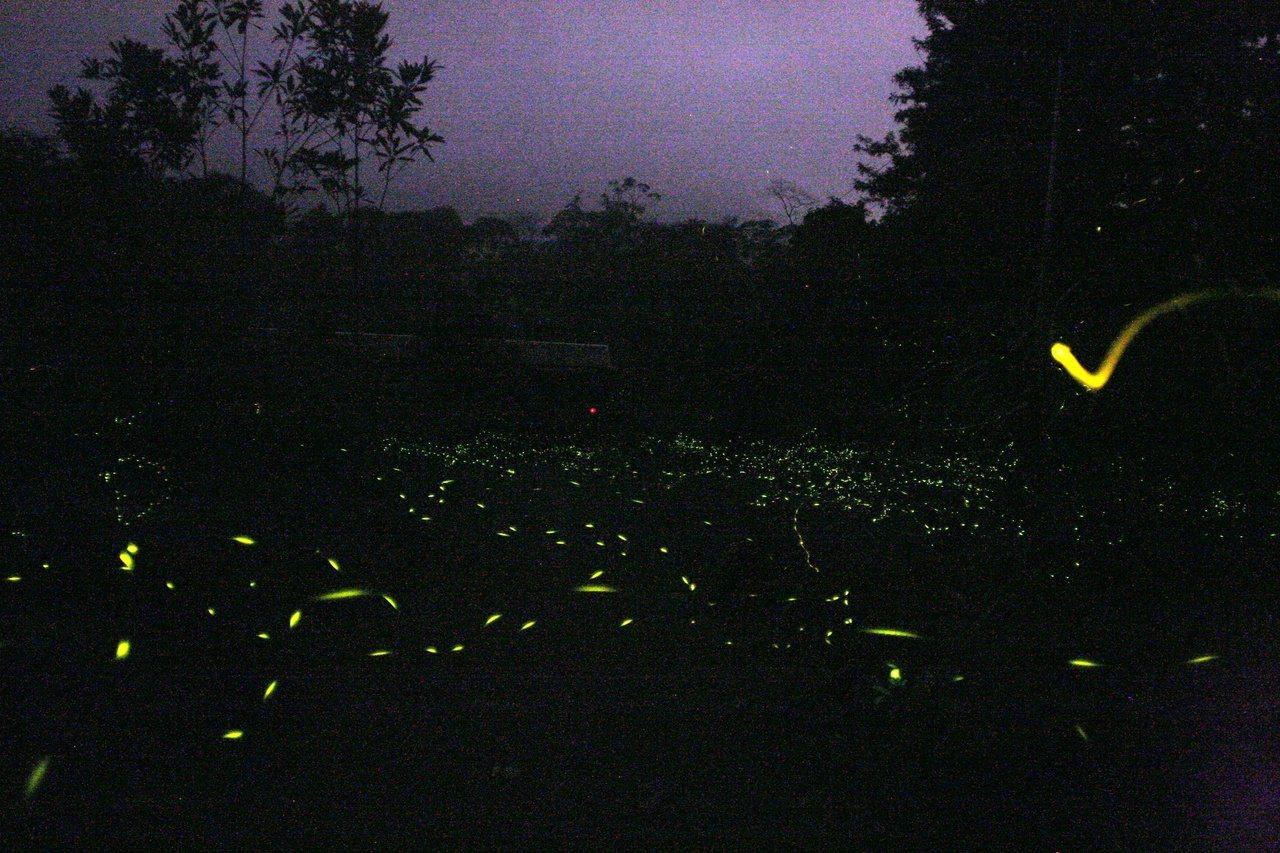 黑翅螢是中部地區數量最多也最常見的螢火蟲。 圖/陳陽發提供