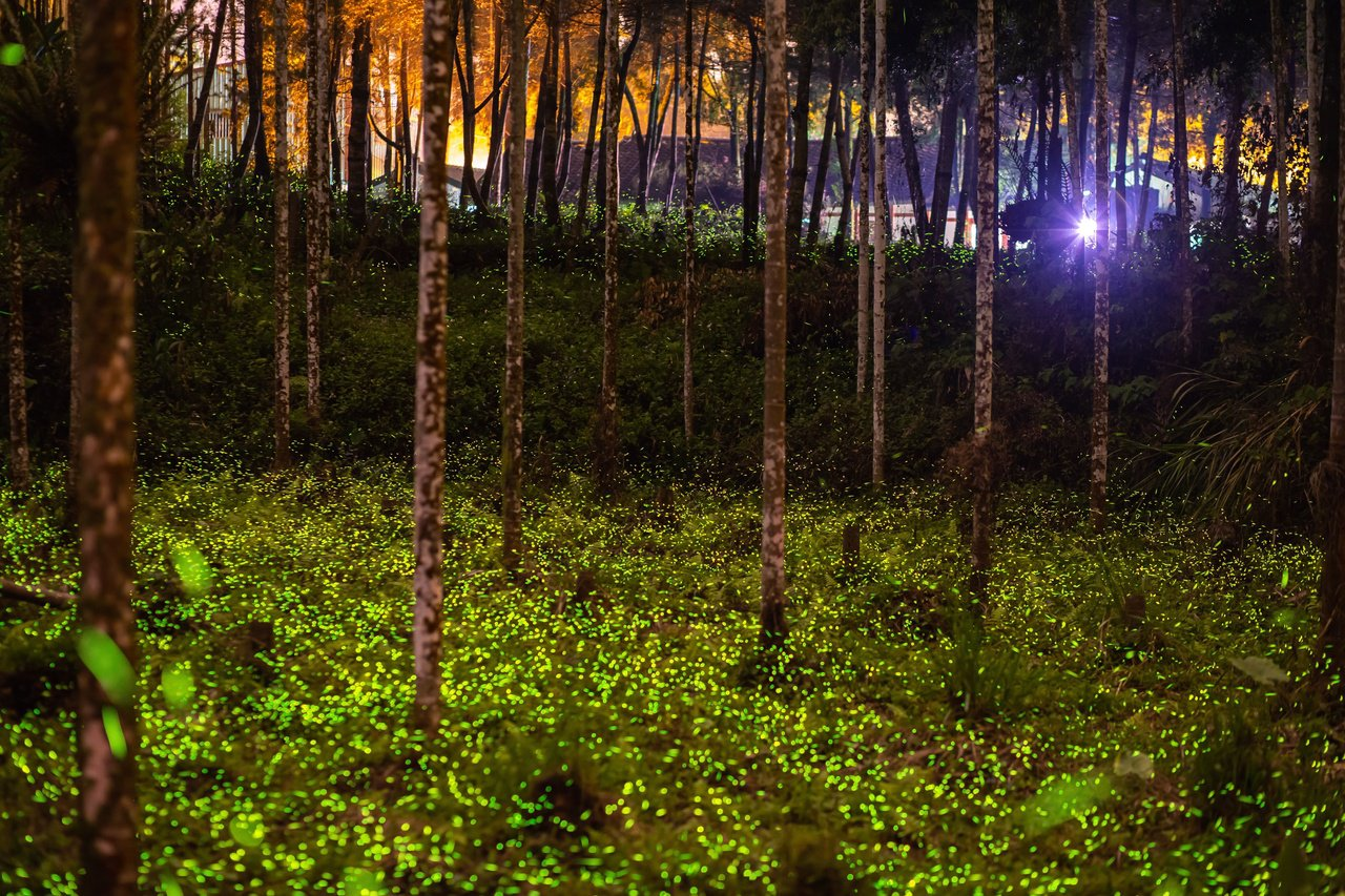 鹿谷三生緣螢火蟲是重要的賞螢勝地,每逢4月開始密密麻麻的布滿園區內林間。 圖/南...