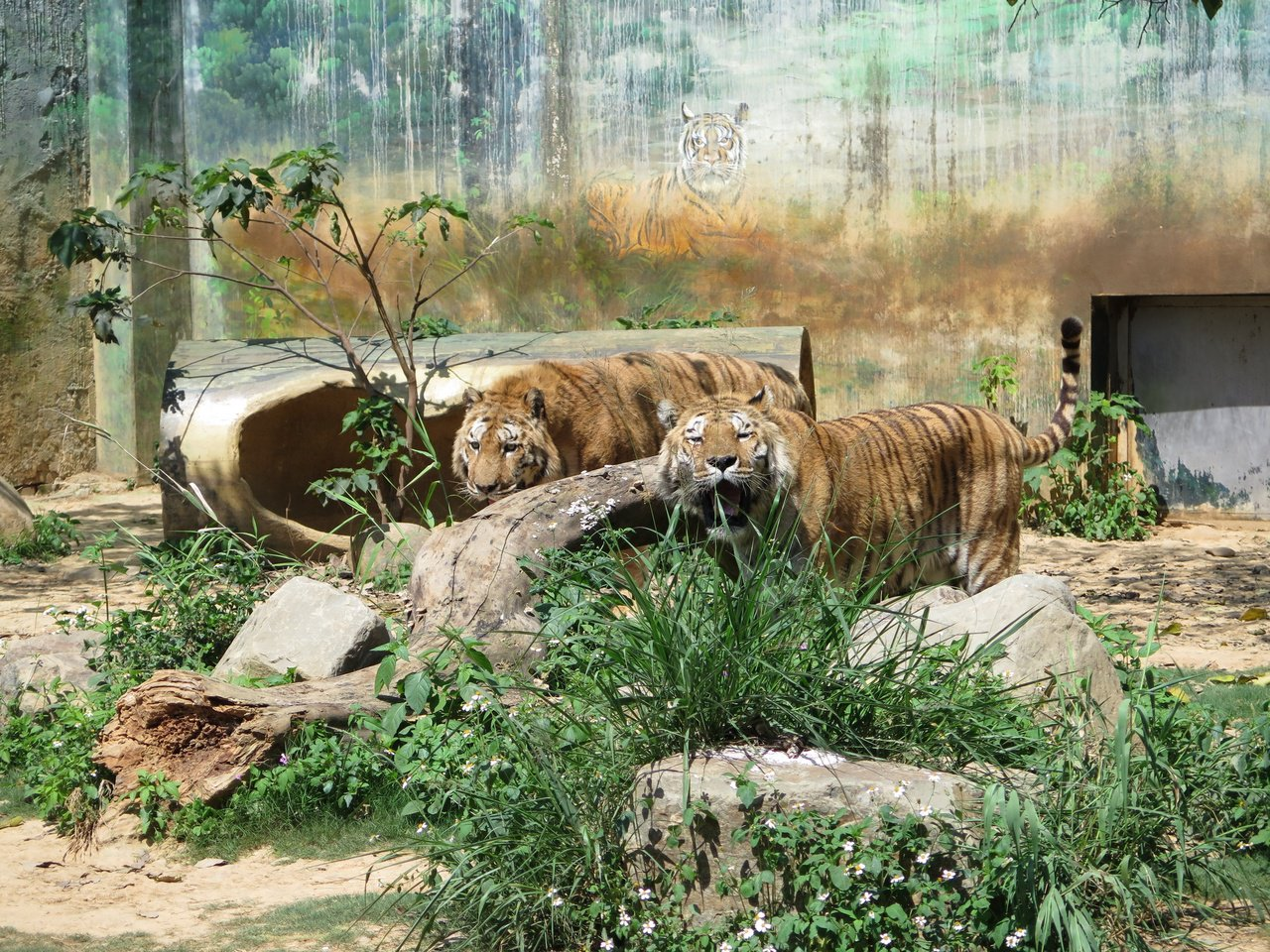 新竹市立動物園的孟加拉虎也是看頭之一。 圖/張裕珍 攝影