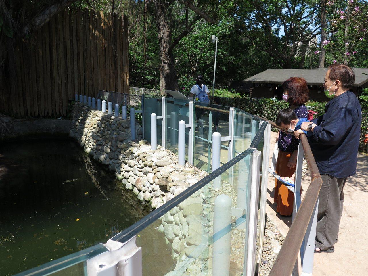河馬樂樂是新竹市立動物園的明星,天氣漸熱,常見牠泡在水中消暑。 圖/張裕珍 攝影
