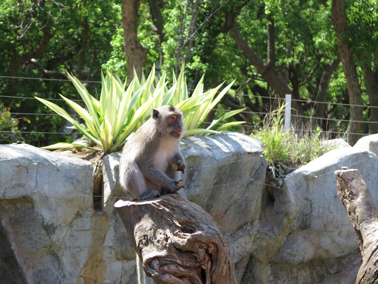 新竹市立動物園設置猴島,讓猴子恣意攀爬。 圖/張裕珍 攝影