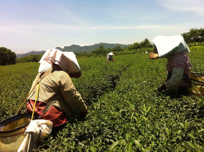 離題旅行的旅人學習採茶。(圖/寫樂文化 提供)