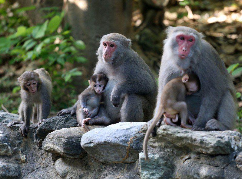 高雄市的台灣獼猴一直是柴山周邊居民的困擾。圖/本報資料照片