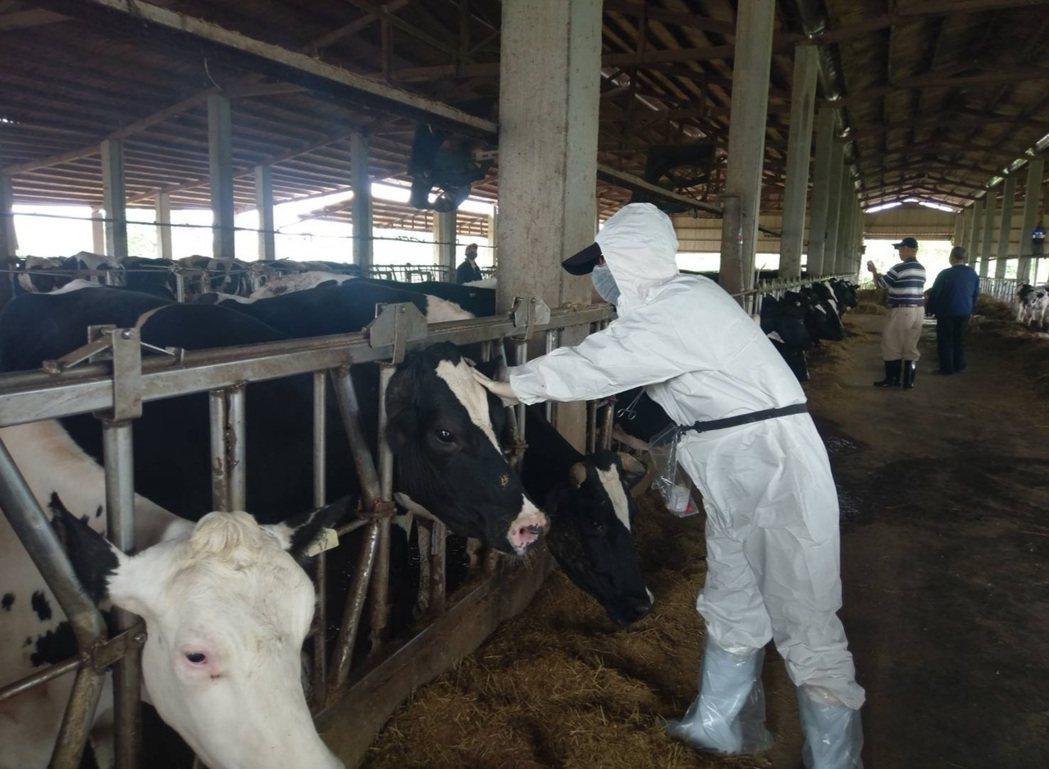 桃園市政府做今天派出10組獸醫和防疫人員,到各牧場為牛注射疫苗。圖/桃園市動保處...